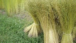 linen plant